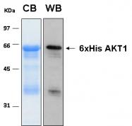 PRO-50036-0100 - AKT1 / PKB