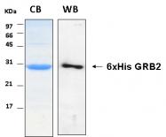 PRO-50038-0020 - GRB2  / ASH