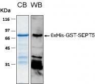 PRO-50041-0010 - Septin-5 (SEPT5)