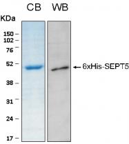 PRO-50042-0010 - Septin-5 (SEPT5)