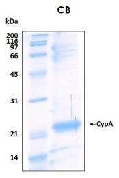 PRO-50049-0025 - Cyclophilin A