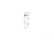 IQ590 - Glutamate receptor 1 / GLUR1