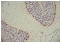 Fig. 2: <span>Frozen sections of mouse brain stained with MCHR2 antibody (BP4005).</span>