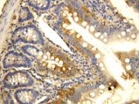 Fig. 6: <span>CCR6 polyclonal antibody</span><span>.</span>