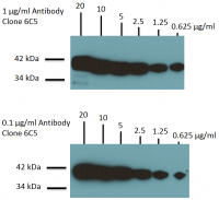 Western Blotting for GAPDH on Rat Brain lysates using anti-GAPDH monoclonal antibody Cat.-No ACR001P at 1 µg/ml (Top) and 0.1 µg/ml (Bottom).
