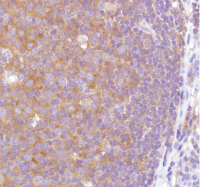 Human tonsil stained with anti-VPAC2 Antibody Cat.-No AM33237PU (Clone SP235).