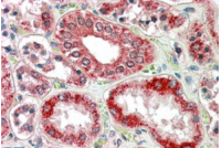 Staining of paraffin embedded Human Kidney using RANBP1 Antibody Cat.-No AP16253PU-N at 3.8 µg/ml. Steamed antigen retrieval with citrate buffer pH 6, AP-staining.