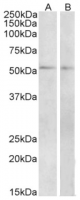 AP32928PU-N (2µg/ml) staining of Mouse (A) and Rat (B) Small Intestine lysate (35µg protein in RIPA buffer). Primary incubation was 1 hour. Detected by chemiluminescence.