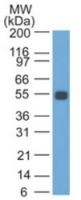 Fig. 2: Western blot analysis of rat colon probed with EpCAM antibody Cat.-No. AM32818SU-S (Clone GZ-1).