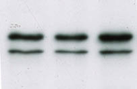 Fig. 4: Western blot using lamin A/C clone JOL5 Cat.-No. BM4505S showing extracts from mouse myoblasts c2c12 (upper band is lamin A, lower band is lamin C)