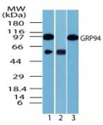 Fig. 3: Western blot analysis of human GRP94 in 3T3 cell lysate in the 1) absence, 2) presence of immunizing peptide and 3) RAW cell lysate using Cat.-No. AP21856PU-N