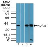 Fig. 3: Western blot analysis of NUP35 in human liver lysate in the 1) absence and 2) presence of immunizing peptide, 3) mouse brain lysate and 4) rat brain lysate using Cat.-No. AP22066PU-N