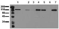 Fig. 8: Human skin (FFPE) stained with E-cadherin antibody Cat.-No. AP15381PU-S