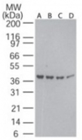 Fig. 1: Western blot analysis of beta actin in decreasing amounts of human ovary tissue lysate using Cat.-No. AP21589PU-N: A) 40 µg, B) 30 µg, C) 20 µg, and D) 10 µg per lane