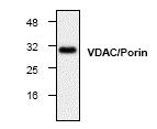 Fig. 6: Western blot analysis of VDAC/porin Cat.-No. AP00265PU-N with 3T3 cell lysate