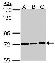 Fig. 9: Western Blot: Lamin B2 antibody Cat.-No. AP19033PU-N staining of H1299 (A), Hela (B), HepG2 (C) whole cell lysates