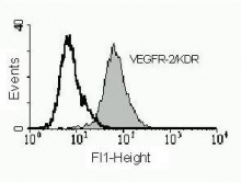Fig. 4: FACS analysis with primary HUVECs using anti-human VEGFR-2 Clone 4H3 Cat.-No. DM3522P