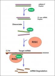 siRNA mechanism