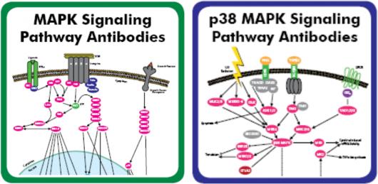 Ras-Raf-MEK-ERK-MAPK pathway